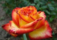 Саженцы роз Тукан