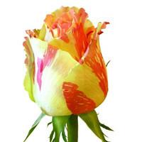 Саженцы роз Фиеста