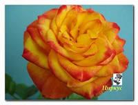Саженцы роз Цыркус