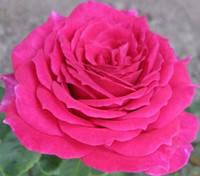 Саженцы роз Шакира