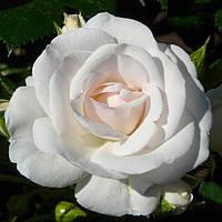 Аспирин роза