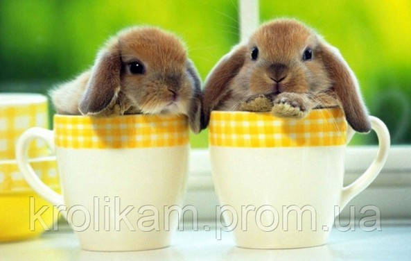 Клещи у кроликов симптомы и лечение