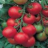 Семена томата Толстой F1 (5 гр) высокорослый ранний