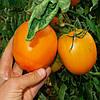 ОРАНЖ - семена томата детерминантного оранжевого, 10 000 семян, SEMO