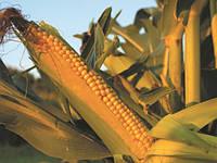 Семена кукурузы Mas 14.G/ Мас 14.Г