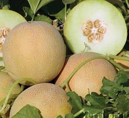 Дыня Амалик F1 семена раннеспелого гибрида с высокой урожайностью, медовым вкусом 8шт
