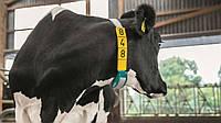 CowScout S Определение периода осеменения