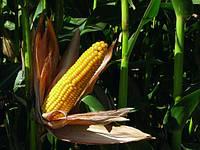 Семена кукурузы Mas 20.F/ Мас 20.Ф