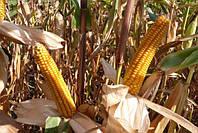 Семена кукурузы Mas 18.Л/ Мас 18.L