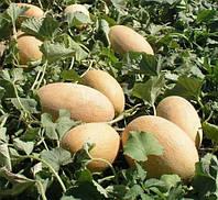 Дыня Делано F1 семена раннеспелого высокопродуктивного гибрида дыни с овально - удлиненными сочными плодами