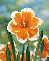 Нарцисс Orangery, фото 1