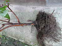 Саженцы малины ПОЛКА (ПОЛЬКА), дорощенные, фото 1