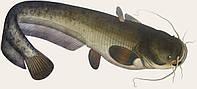 Риба Сом