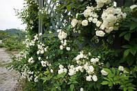 Саженцы плетистых.мелкоцветковых,белых роз