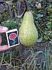 Саженец груши Конкорд (Англия)