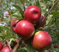 Яблоки из сада. Опт и розница