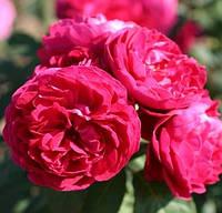 Саженцы роз сорт Musimara (Мусимара)