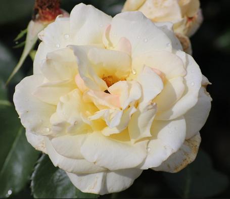 Саженцы роз сорт Schneewalzer (Шнивальцер)