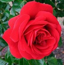 Саженцы роз сорт Sympathy (Симпати)