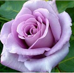 Саженцы роз сорт Blue Moon (Блю Мун)