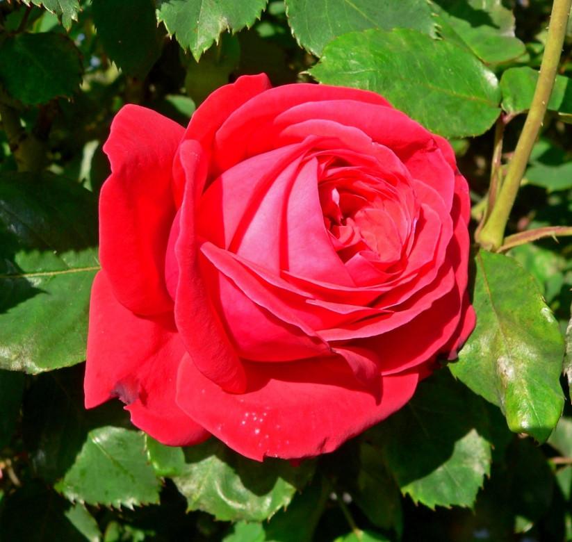 Саженцы роз сорт Dame de Coeur (Дам де Кёр)