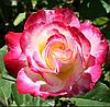Саженцы роз сорт Double Delight (Дабл Делайт)