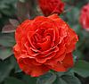 Саженцы роз сорт El Toro (Ель Торо)