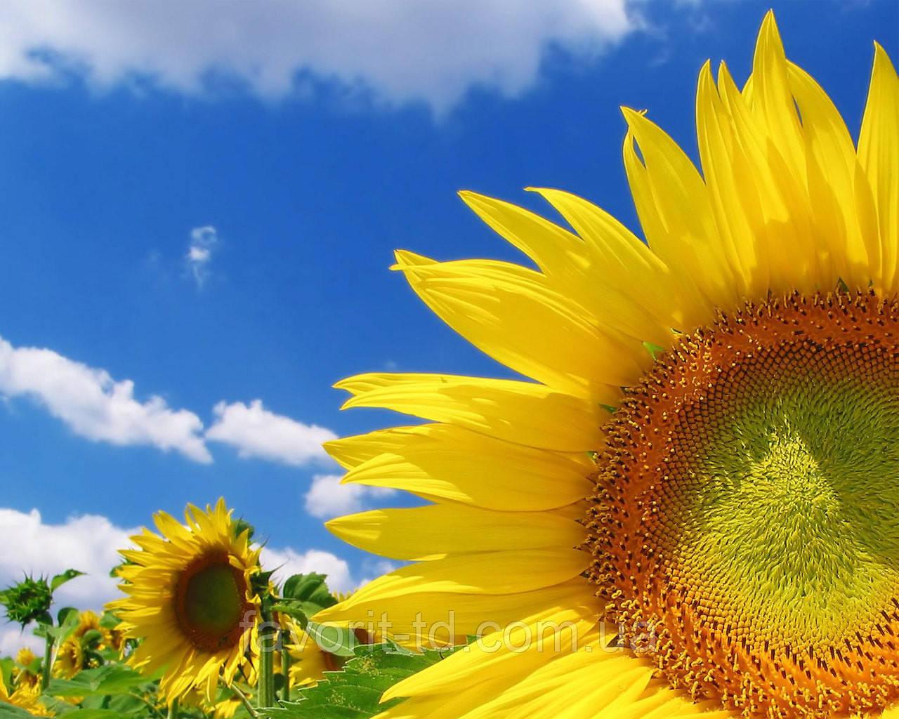 BASF виходить на ринок насіння соняшнику