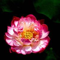 Лотос орехоносный  розовый 2 сем