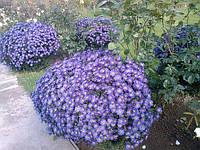 Астра многолетняя кустовая , голубая, морозник -растение