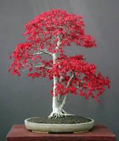 Клен японский красный 3 семени Индонезия