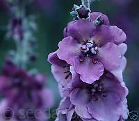 Коровяк фиолетовый 20 семян многолетнее