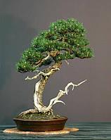 Сосна горная Pinus mugo Montana 3 семя Канада