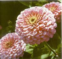 Циния Luminosa Розовая 10 сем