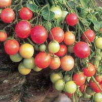 Помидор каскадный черри Garden Pearl 15 сем