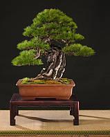Сосна красная японская Pinus Densiflora 5 семян