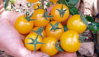 Помидор черри Золотой орех 10 семян