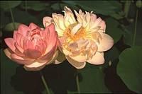 Лотос орехоносный персиково-розовый 1 сем