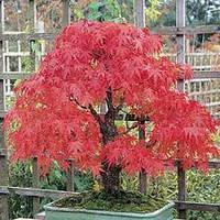 Клен японский красный 5 семян США