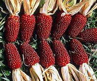 Кукуруза  Клубника  6 сем