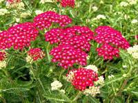 Тысячелистник Cerise Queen растение