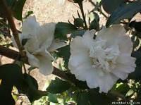 Гибискус Белый махровый 3сем