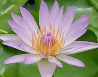 Сиреневая водяная лилия (Nymphaea Sp.  ) 5 сем