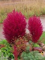 Кохия Бургунди 15 семян
