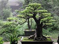 Сосна Хуаншаньская   3 семени редкость
