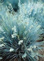 Трава овсяница Blue Hills 4 сем