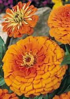 Циния Оранжевый король 10 сем