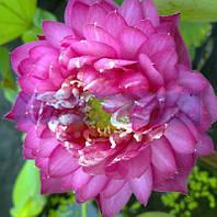 Лотос орехоносный Роза 1 сем
