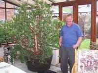 Денежное дерево (крассула, толстянка) для бонсай