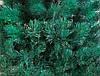 Сосна Magictrees Карпатская Литая 2,2м, фото 2